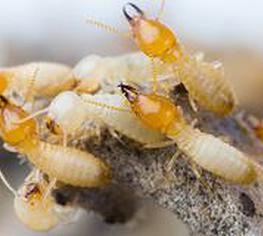 Pre purchae pest inspection