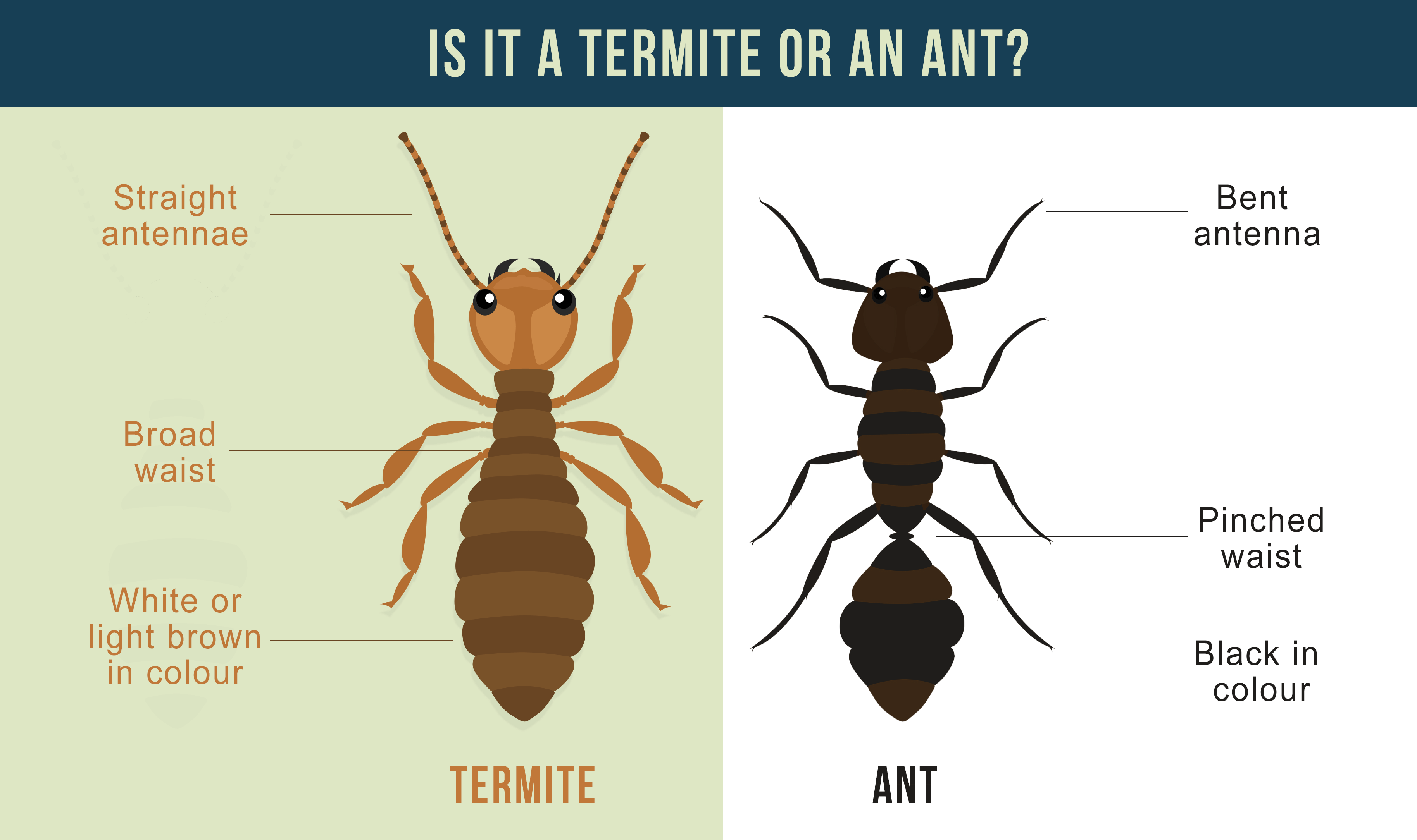 What Do Termites Look Like In Australia And Other Important Facts About Termites Above Board Building Inspections